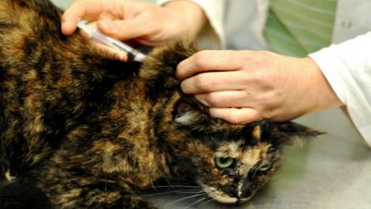 Kediler İçin Aşı Takvimi