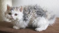 Ekstra Tatlı ve Yumuş Olan 17 Kıvırcık Kedi