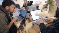 Kediler ile Birlikte Ofiste Çalışmanın Zorluğu/Tatlılığı