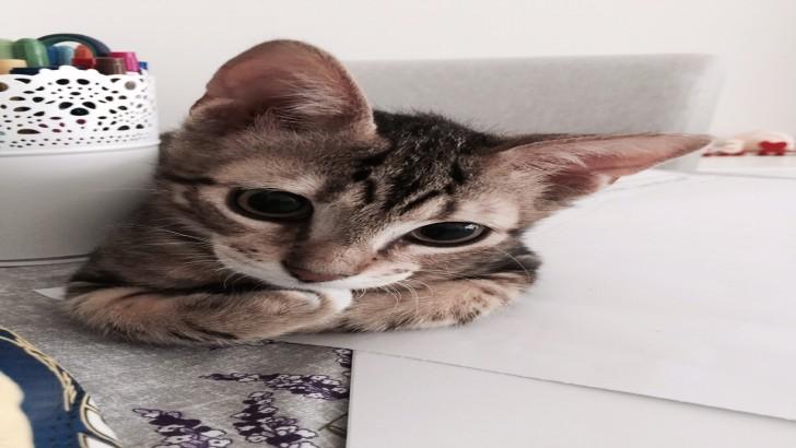 4.5 aylık American Shorthair yavru kedimizi sahiplendirmek istiyoruz.