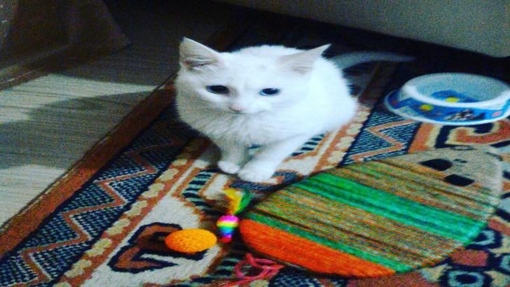 Van kedisi 1 yaşında dişi