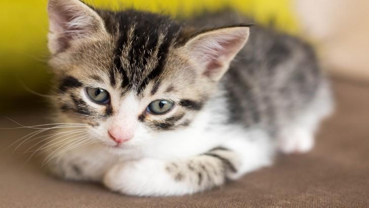 1,5 aylık yavru kediler