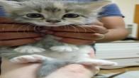 1 aylık yavru American Shorthair kırması dişi