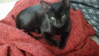 Uğur Getiren Tatlı Kediye Aile Arıyoruz. Sokağa Gitmesin