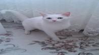 şanslı (kayıp kedi ilanı)