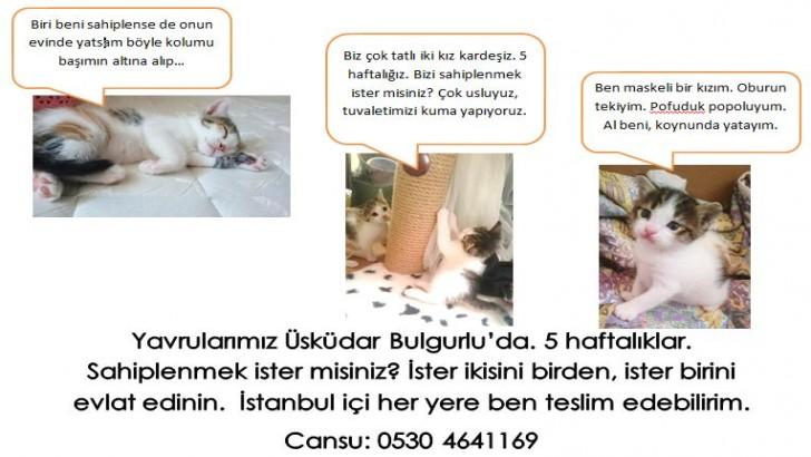 istanbul, Bulgurlu, 6 haftalık dişi yavrular