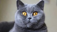 Gri Kedi Cinsleri