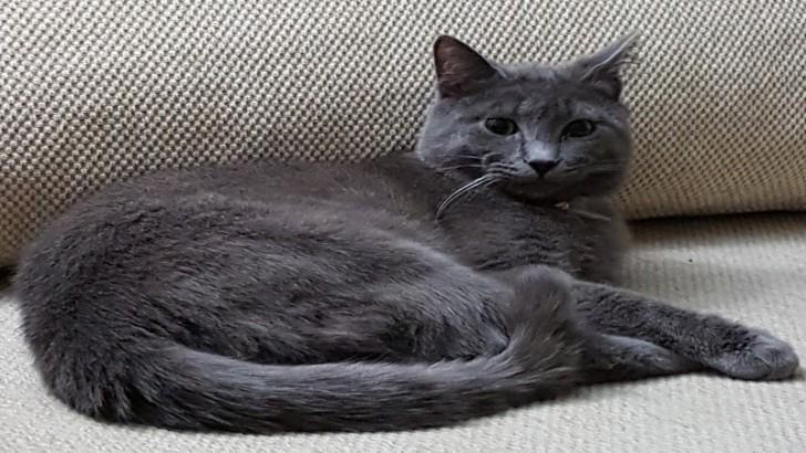 Mavi Rus Kedisi Gümüş Oğluma Daimi Yuva Arıyorum