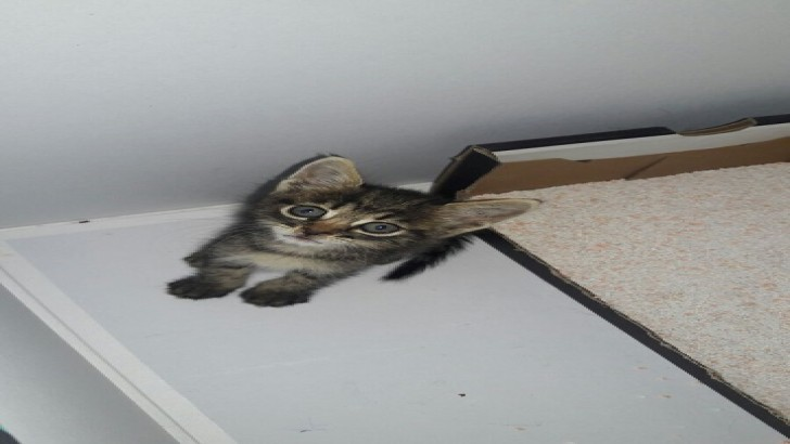 Yavru dişi tekir kedi acil!