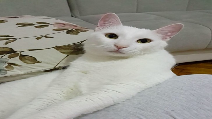 Ankara kedisi beyaz 2 yaşında
