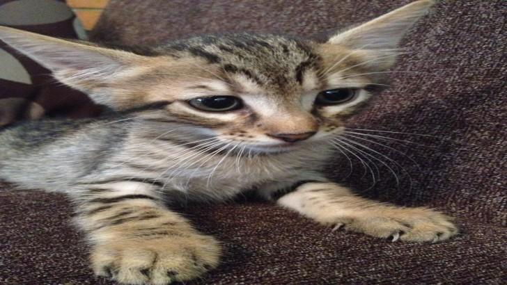 2,5 Aylık Birbirinden Güzel erkek Yavru Kediler