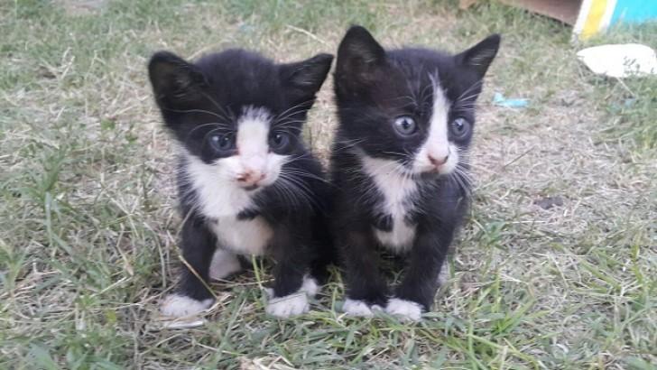 2 Yavru Kedi Acil Sahiplendirme