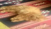 İran Kedim Ares İçin Sıcak Bir Yuva Arıyorum