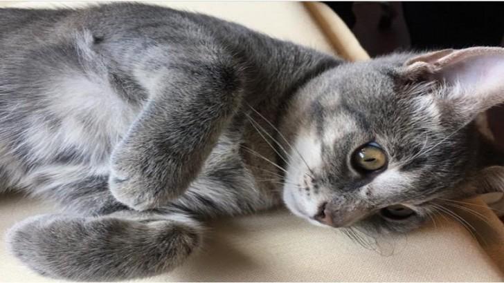 Minik gri tekir yavru kedi yuva arıyoruz