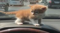 Yarı İran yarı Tekir yavru kedilerime sıcacık yavru arıyorum