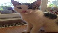 Acil!!! Pamuk, 10 Aylık Erkek Kedi.Çok Sakin, Tatlı, Huzurlu, Beykoz, İstanbul