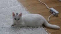 Yavru Beyaz Kedi
