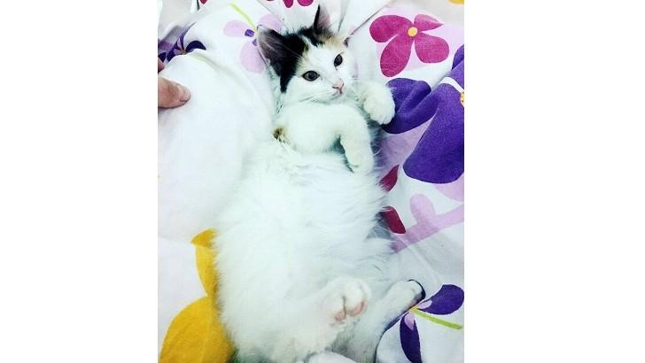 2 aylık Ücretsiz Yavru Kedi Sahiplendirme
