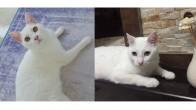 Beyaz Kedi Sahiplendirme