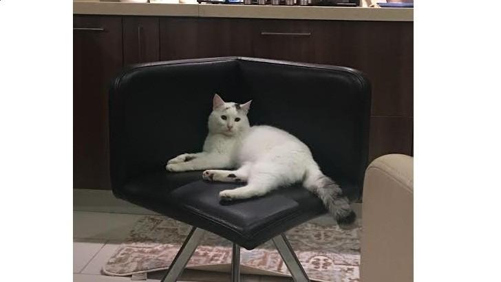 Van kırması uysal erkek kedi sahiplendirme