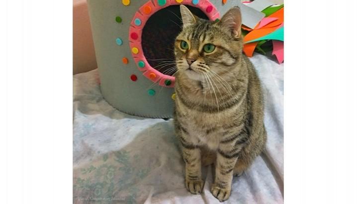 2 yaşında Persian Kırması Dişi Kedi
