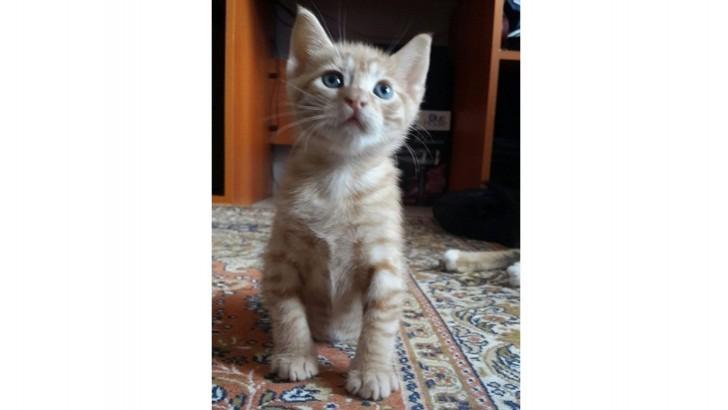 2 aylık yavru sarman kedi