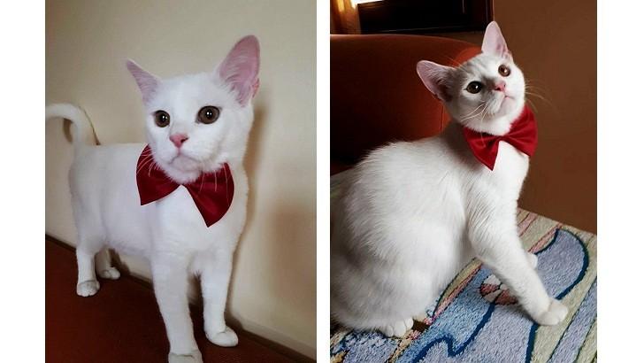 6-7 aylık British Melezi Beyaz Yavru Kedi