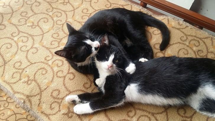 İZMİR 7 Aylık 2 Smokin Kardeş Kedi ,cana yakın ve oyuncular yuva arıyoruz
