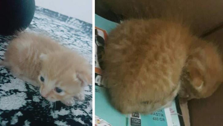 1-2 Haftalık Yavru Kedi Çikilop