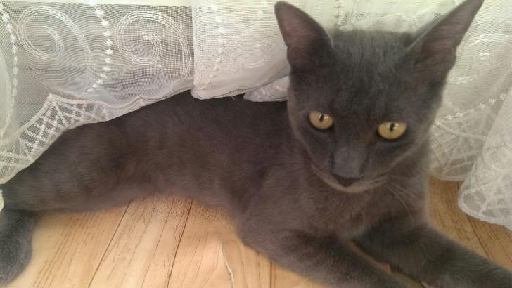 9 aylık russian blue erkek kısır kedi