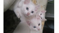 Van ve Ankara kedilerine yuva arıyoruz