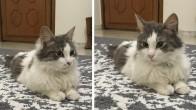 Kısırlaştırılmış, aşıları yapılmış, 9 aylık dişi kedi