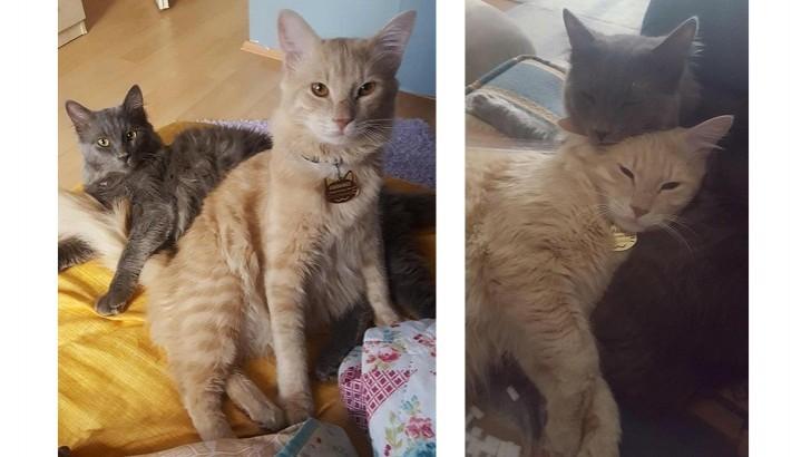 Sevgi Dolu Aşılı Kısırlaştırılmış İki Erkek Kedi