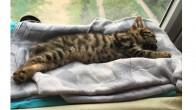 Tekir Yavru kedi ömürlük ailesini arıyor