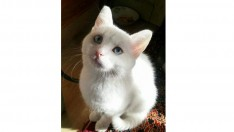 Mavi gözlü Ankara kedisi