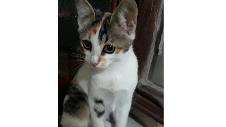 Sürmeli Gözlü van kedi kırması