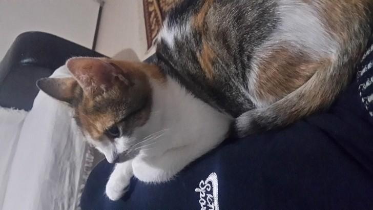 6 aylık dişi ev kedisi