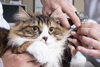Kedilerin Tırnakları Nasıl Kesilir?