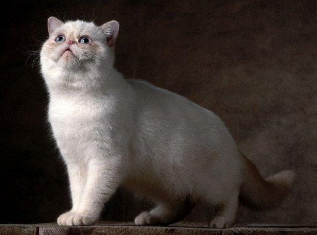 Egzotik Shorthair Kedi