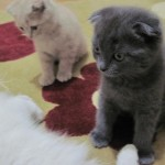 Scottish Fold 2 150x150 Scottish Fold
