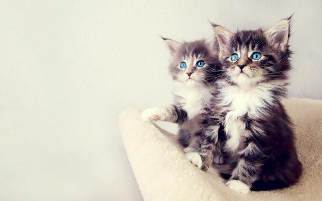 15 Adımda İki Kediyi Birbirine Alıştırmak