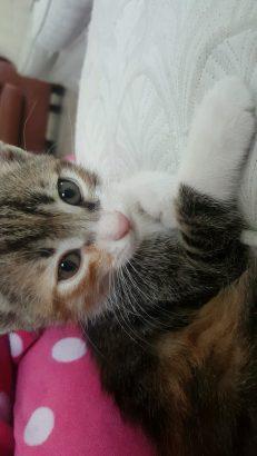 Yavru tekir kedi