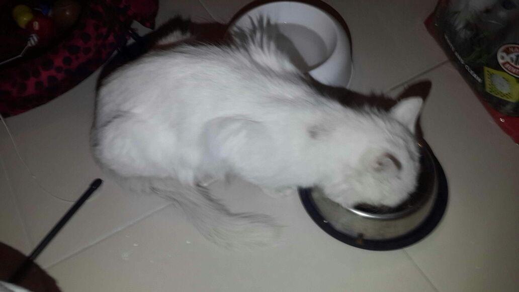 Beyaz ve çok sevimli bu kedi acil yuva arıyor