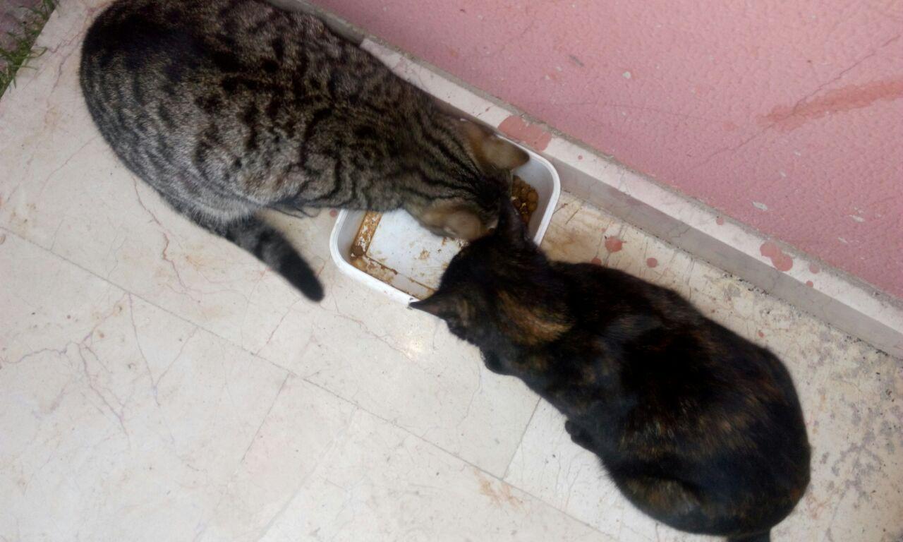 hamile kedi