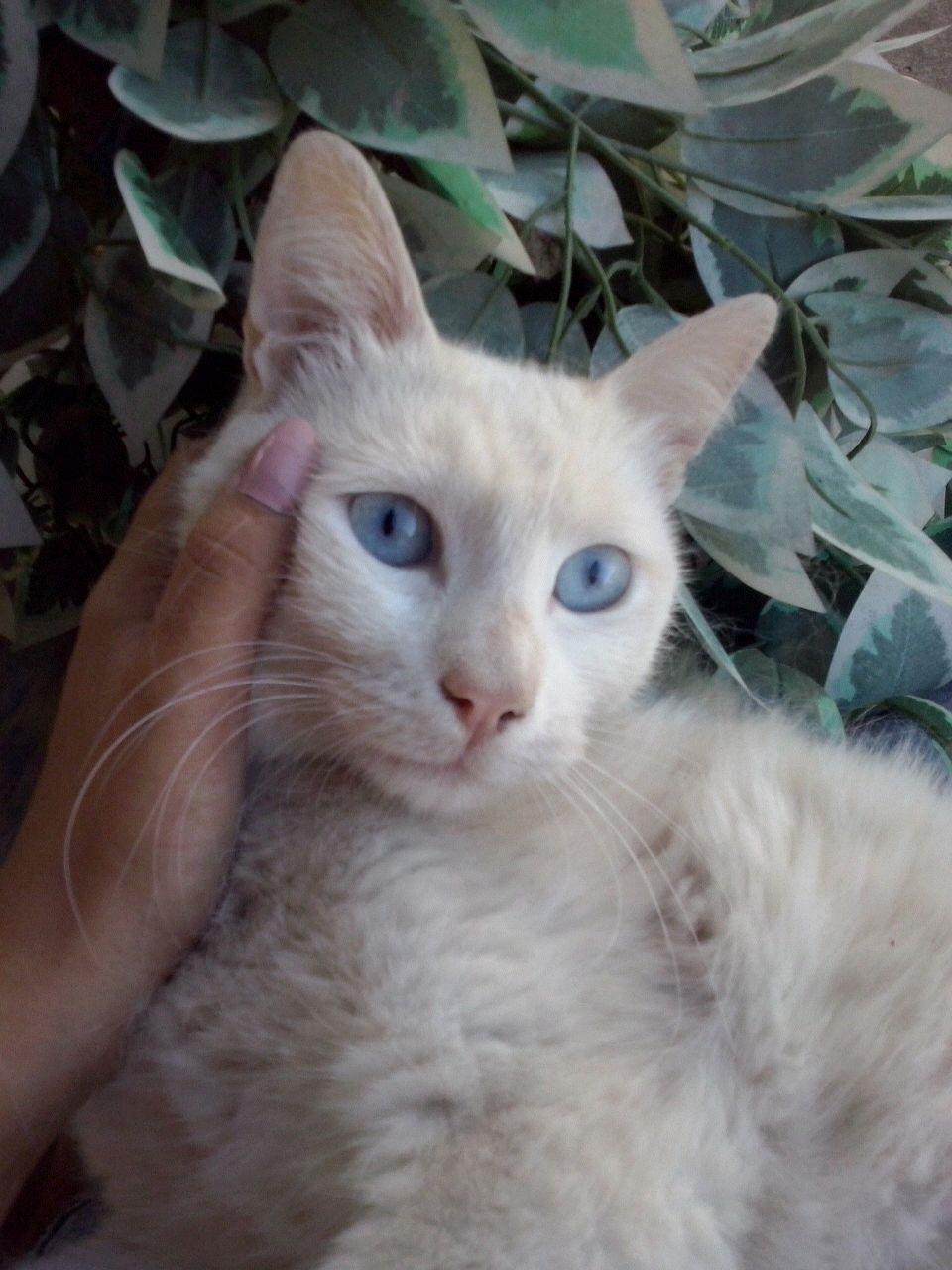 Ankara kedisi evcil uysal sevimli