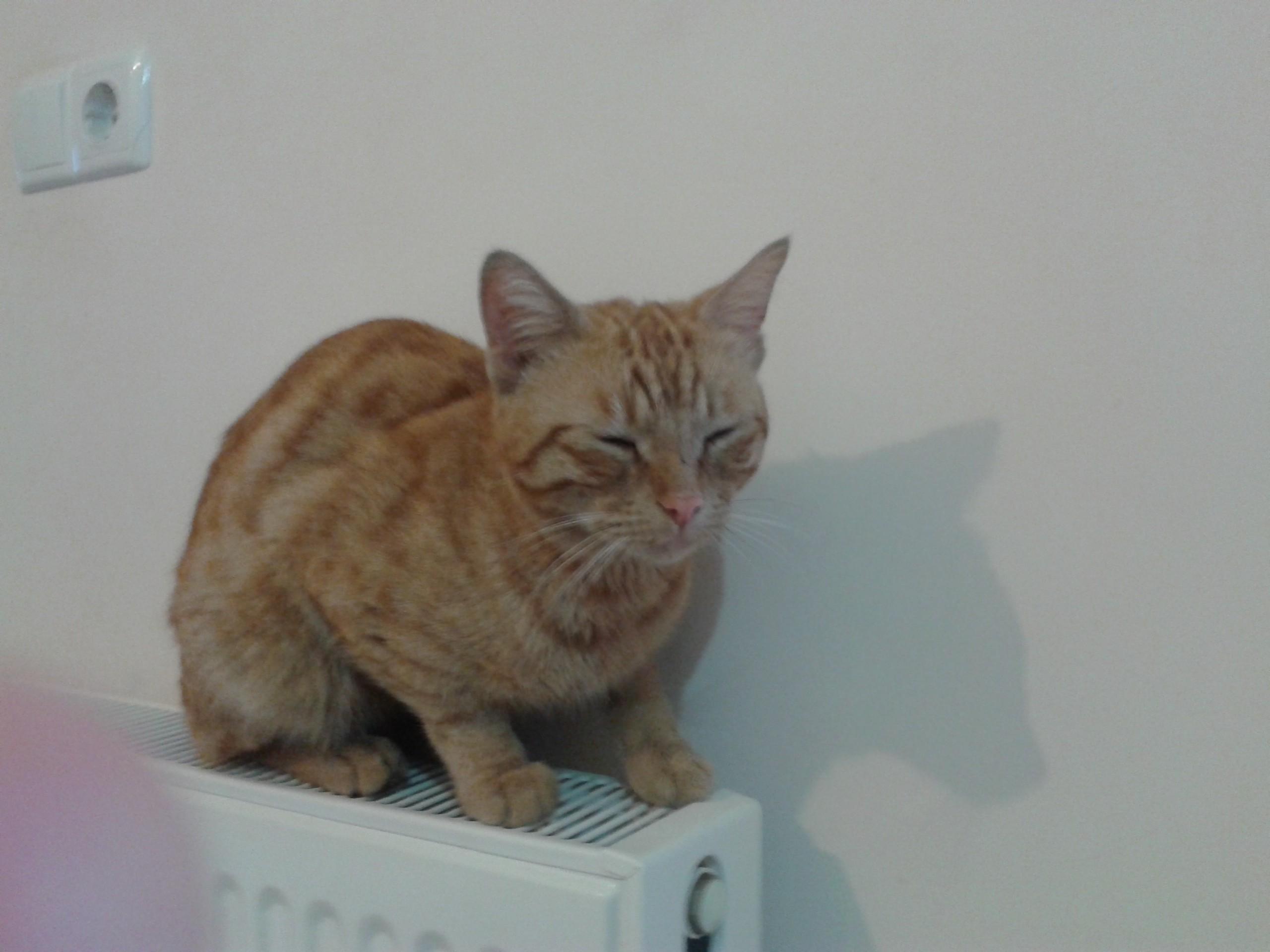 Oğluş isimli 1.5 yaşındaki laperm cinsi sarman erkek kedime yeni yuva arıyorum