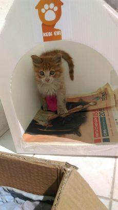 Yavru kedi yuva arıyor