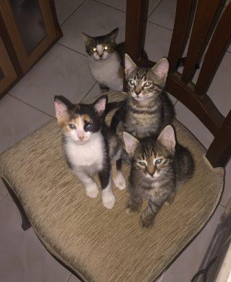 4 tane 2 aylık yavru kedicik
