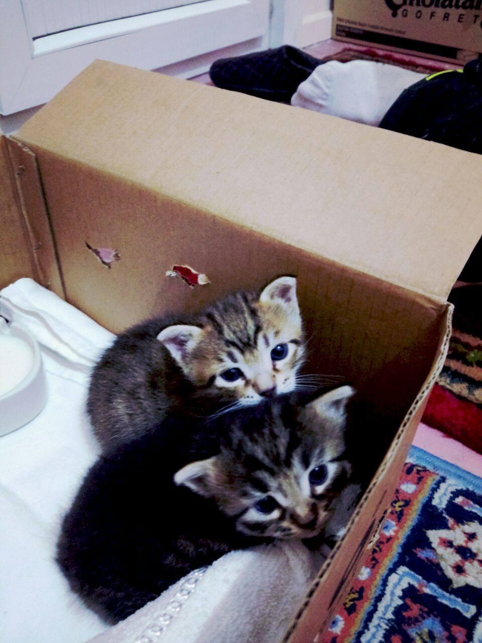 1 Aylık 2 Kedicik için Ömürlük Yuva Aranıyor
