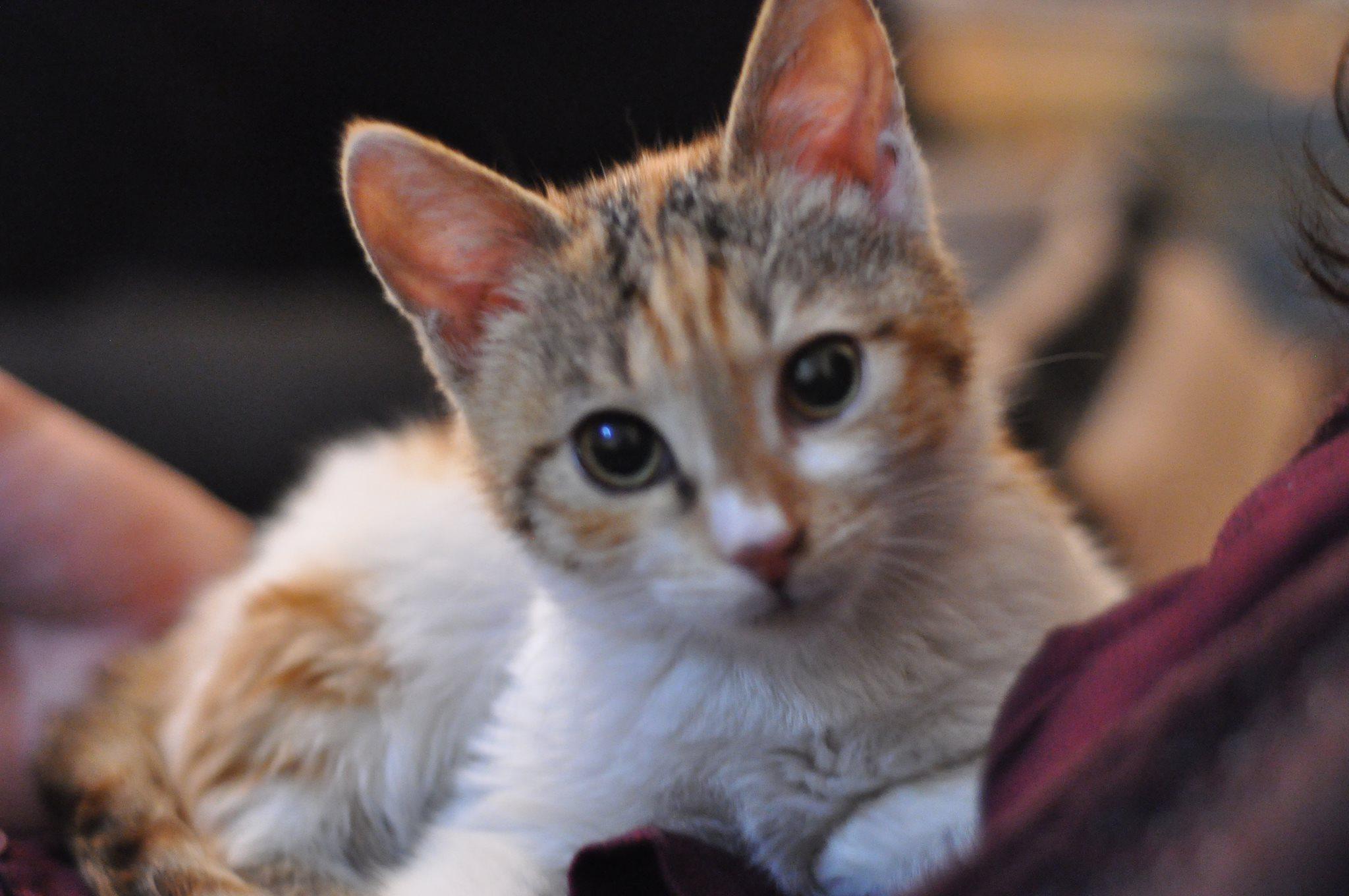 Acil kedi sahiplendirme